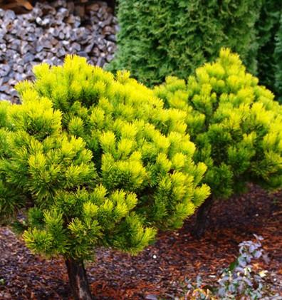 Pinus mugo Carsten's Wintergold штамб2.j