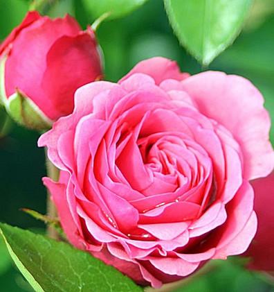 Rosa Magic Rokoko1.jpg