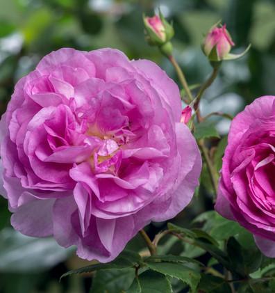 Rosa Saphir1.jpg