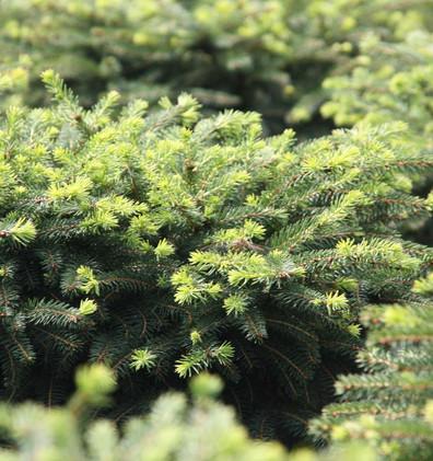 Picea abies Nidiformis_2.jpg