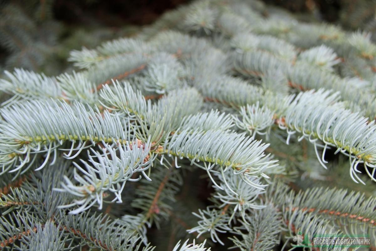 Picea pungens glauca_2.jpg