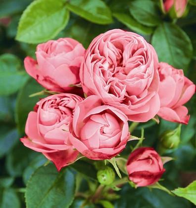 Rosa Lovely Rokoko1.jpg