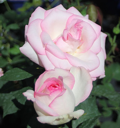 Rosa Biedermeier Garden1.jpg