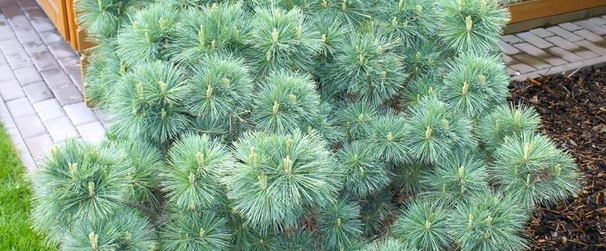 Pinus strobus Minima_3.jpg