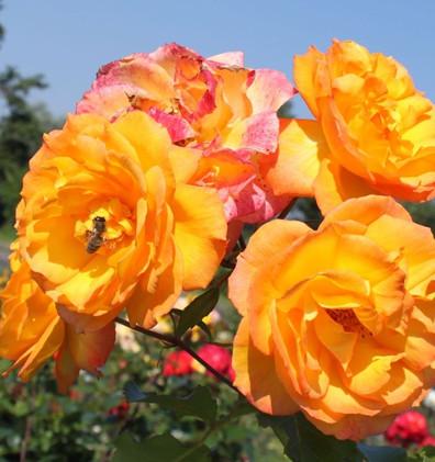 Rosa Sahara1.jpg