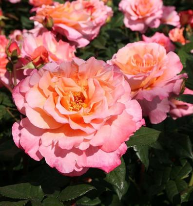 Rosa Augusta Luise1.jpg