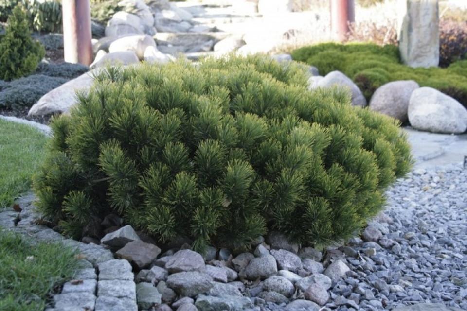 Pinus mugo Pumilio_3.jpg