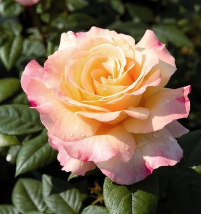 Rosa Aquarell2.jpg