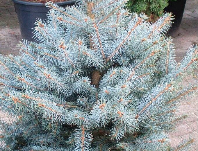 Ель голубая  'Blue Diamond'  Picea pungens 'Blue Diamond'