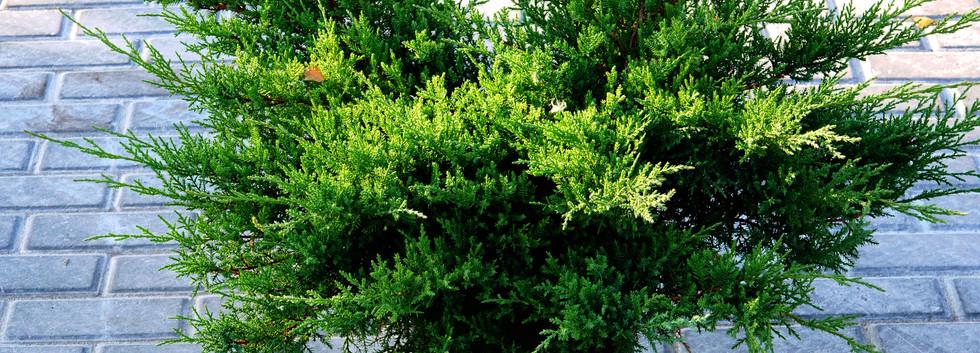 Juniperus media Pfitz. Compacta_1.JPG