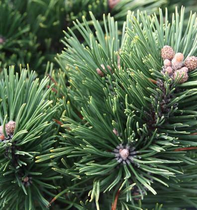 Pinus mugo Gnom_2.jpg