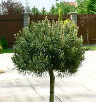Pinus mugo Pumilio штамб1.jpg