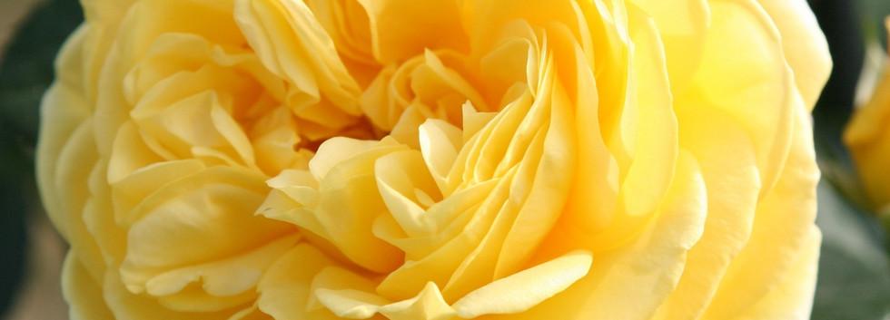 Rosa Inka2.jpg