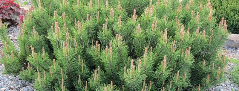 Сосна горная 'Mughus' Pinus mugo 'Mughus'