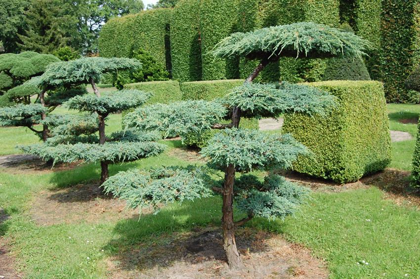 Juniperus virg hetzii bons_3.jpg