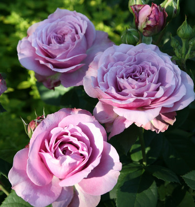 Rosa Lavender Ice1.jpg