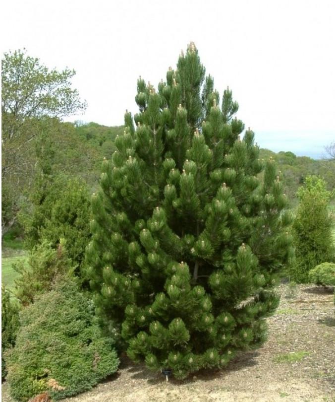 Pinus leucodermis Compact Gem_3.jpg