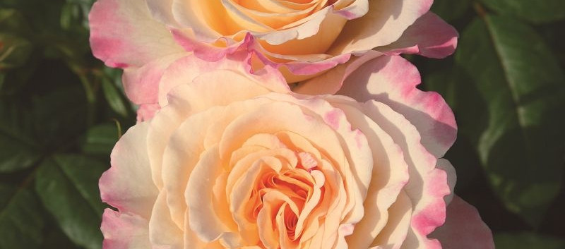 Rosa Aquarell1.jpg