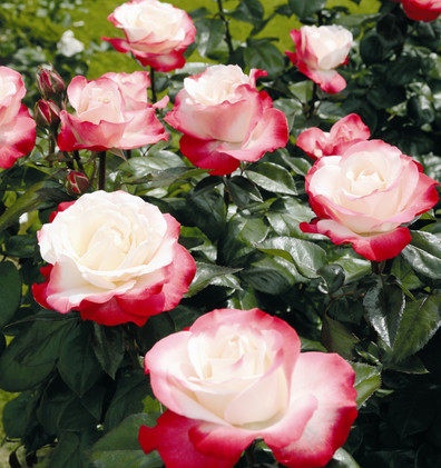 Rosa Nostalgie1.jpg