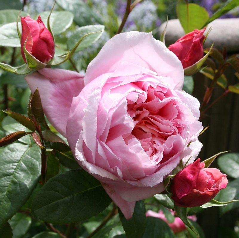 Rosa Schone Maid1.JPG