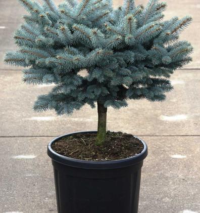 Picea pungens Glauca Globosa_3.jpg