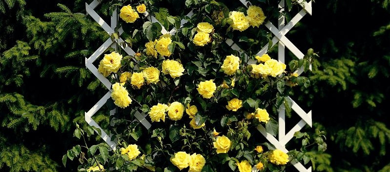 Rosa Goldstern4.jpg