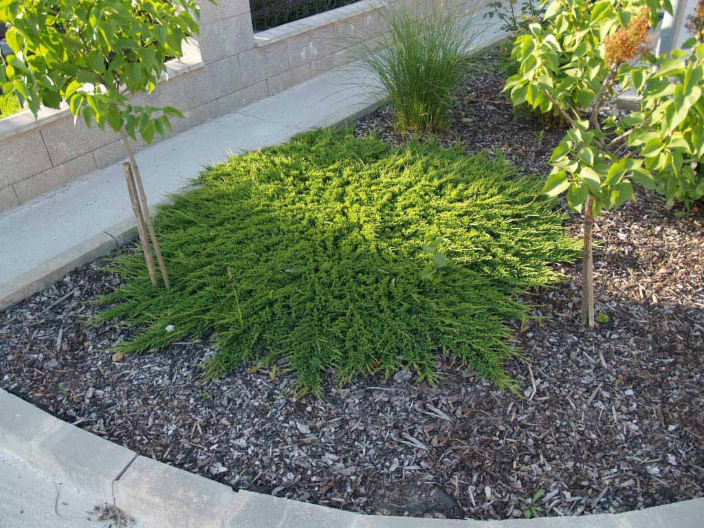 Juniperus hor Prince of Wales_3.jpg