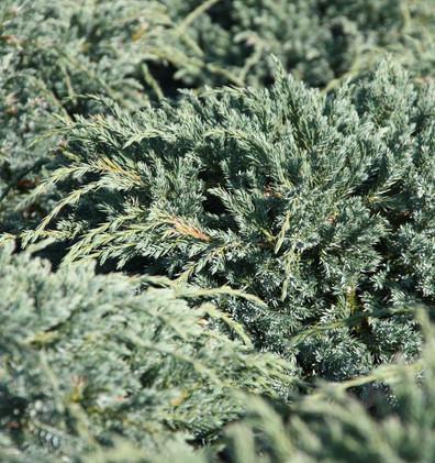 Juniperus squam Blue Carpet_2.jpg