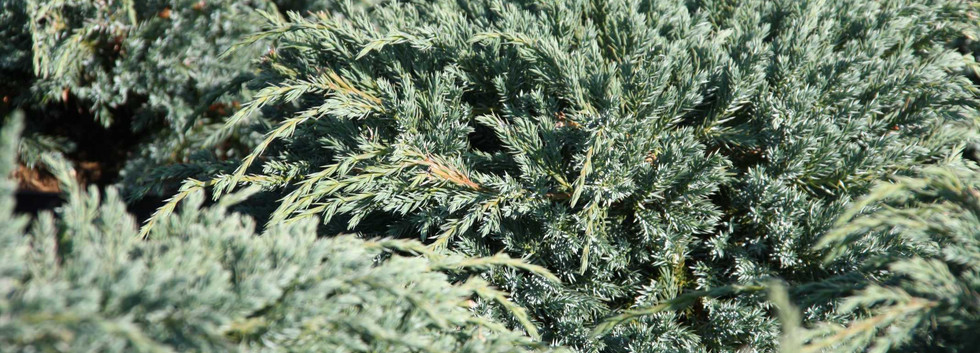 Juniperus squam Blue Carpet_2.jpg