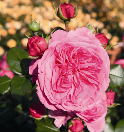 Rosa Baronesse2.jpg