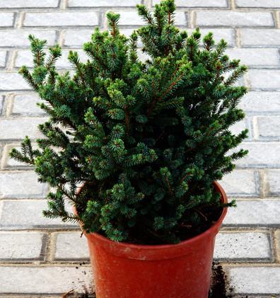 Picea sitchensis Midget_1.JPG