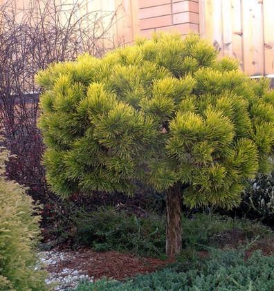 Pinus mugo Carsten's Wintergold штамб3.j