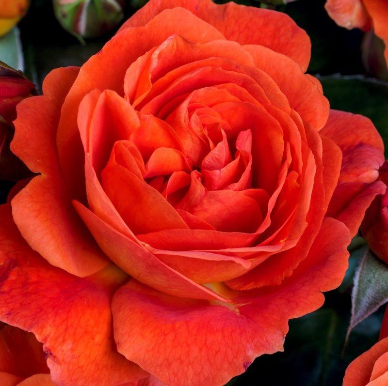 Rosa Morning Sun1.jpg