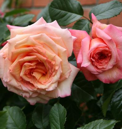 Rosa Barock2.jpg