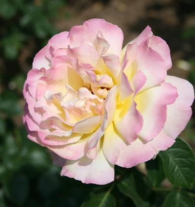 Rosa Gloria Dei2.jpg