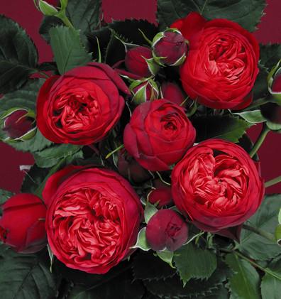 Rosa Piano1.jpg