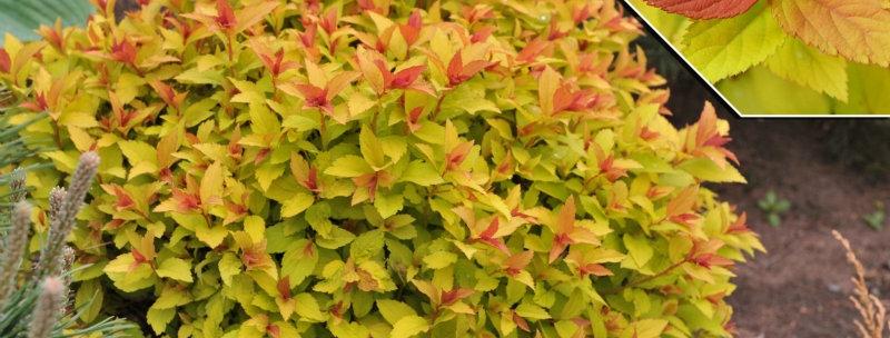 Спирея японская Файерлайт (Spiraea japonica Firelight)