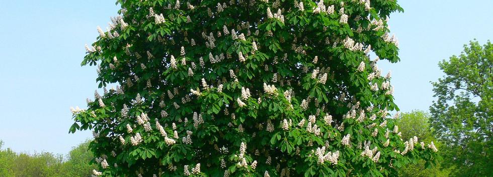 Aesculus hippocastanum_1.jpg