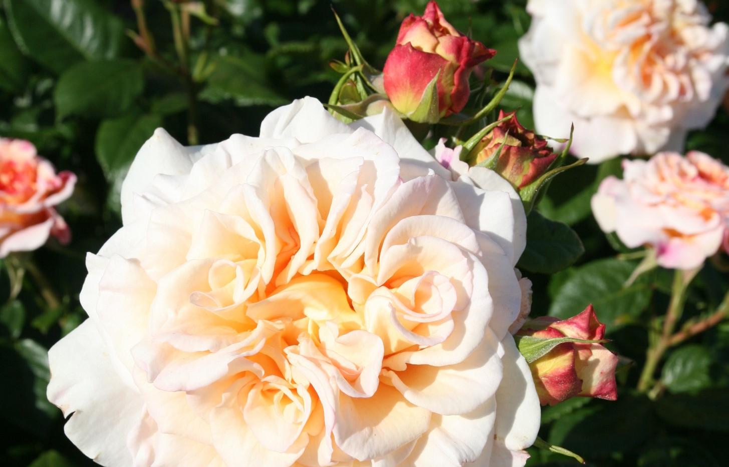 Rosa Comtessa3.jpg
