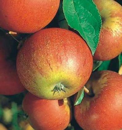 Malus domestica Cox's Orange Pippins2.jp