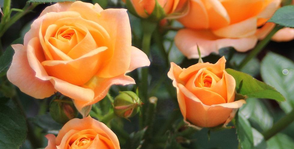 Rosa floribunda Bernstein Rose