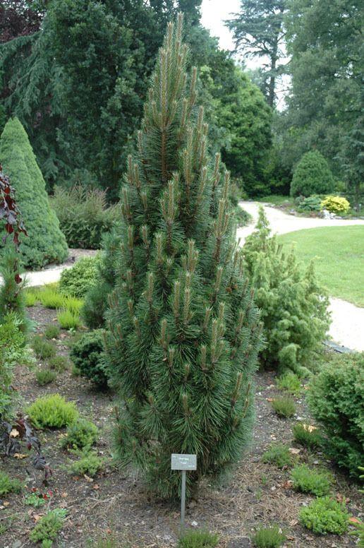 Pinus nigra Richard_3.jpg