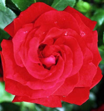 Rosa Santana2.jpg