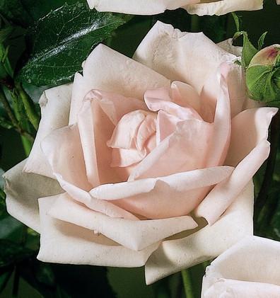 Rosa New Dawn1.jpg