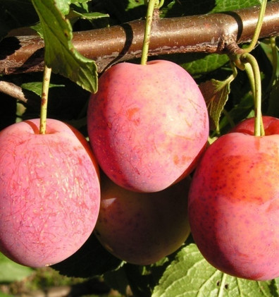 Prunus domestica Victoria2.jpg