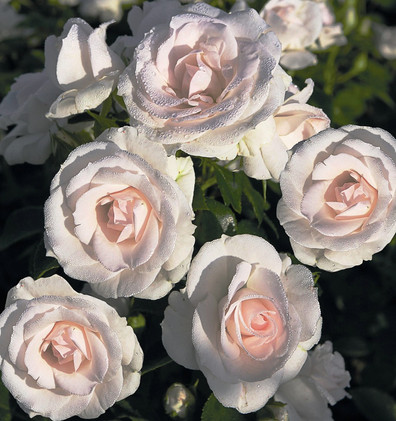 Rosa Aspirin1.jpg
