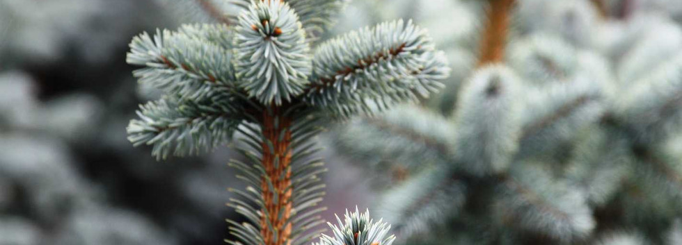 Picea pungens Blue Mountain_2.jpg
