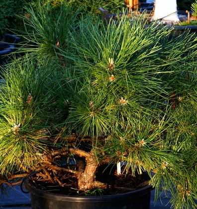 Pinus nigra Hornibrookiana_1.JPG