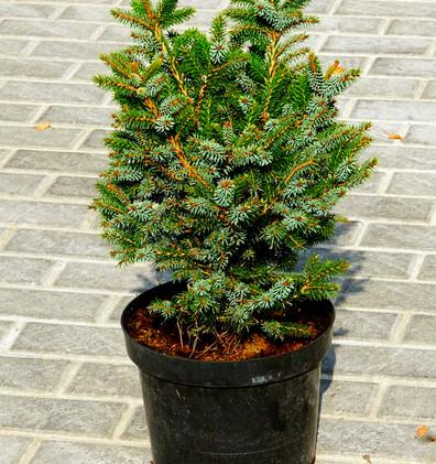Picea pungens Sonia_1.JPG