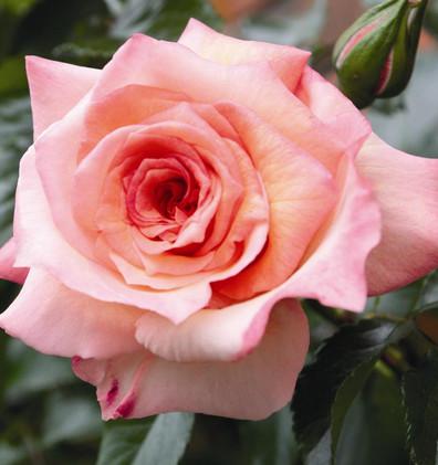 Rosa Barock3.jpg